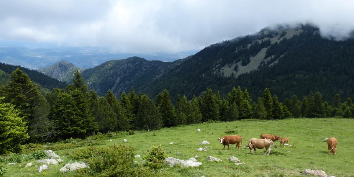 Bovins en estive sur le massif du Canigó / SMCGS