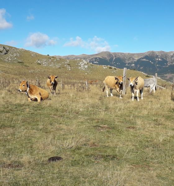 Troupeau de bovins contribuant au maintien des milieux ouverts / SMCGS